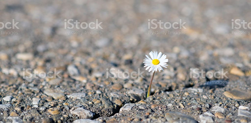 daisy on cracked ground stock photo