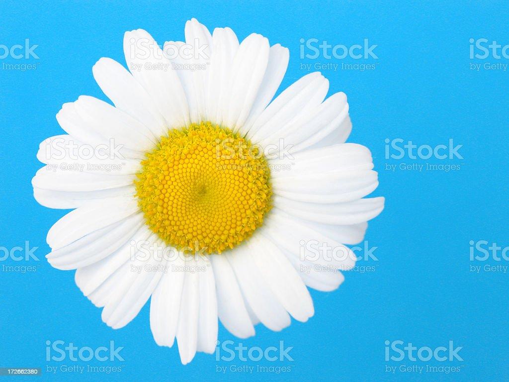 daisy on cyan stock photo