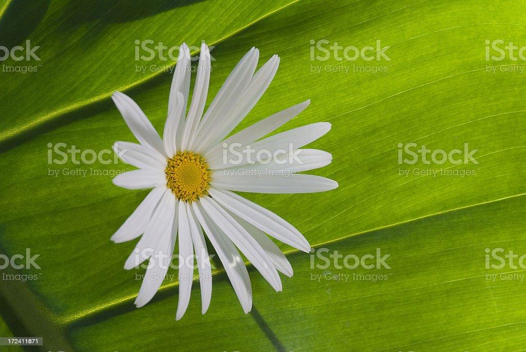daisy on green background stock photo