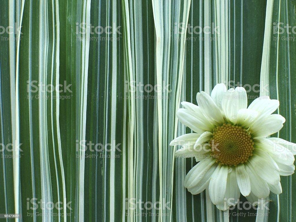 Daisy on Ribbon Grass royalty-free stock photo