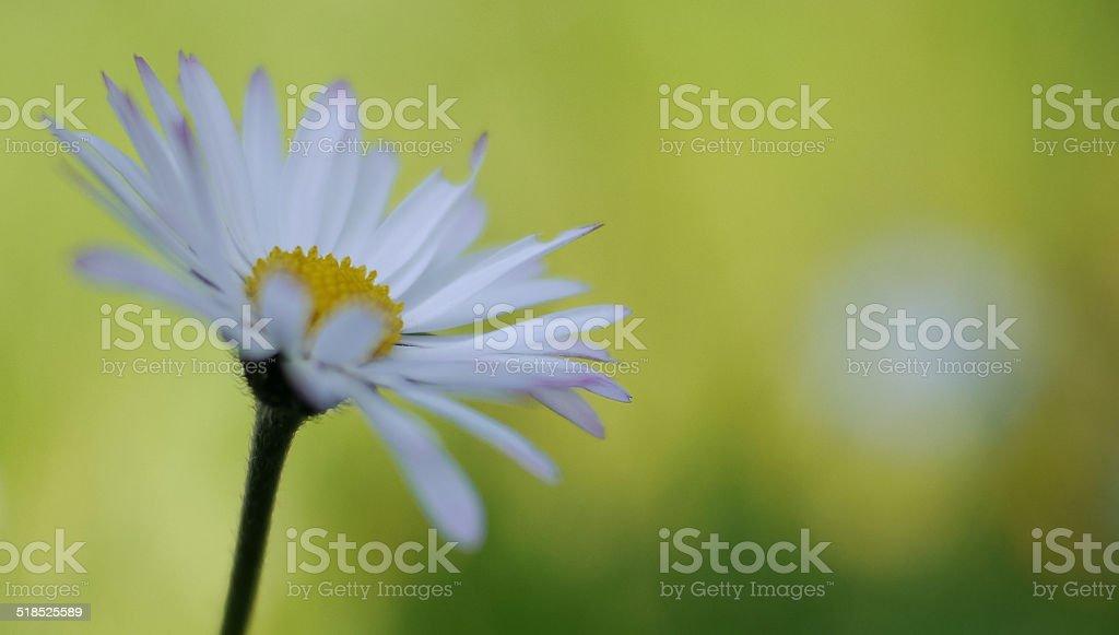 Daisy on the green royalty-free stock photo