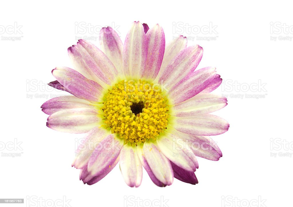 Daisy (Chrysanthemum) on white background. XXXL size. royalty-free stock photo