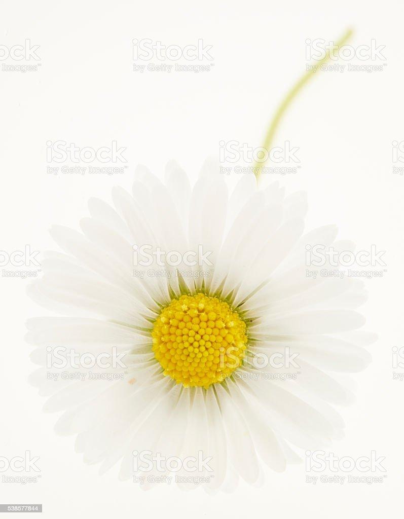 Daisy on White stock photo