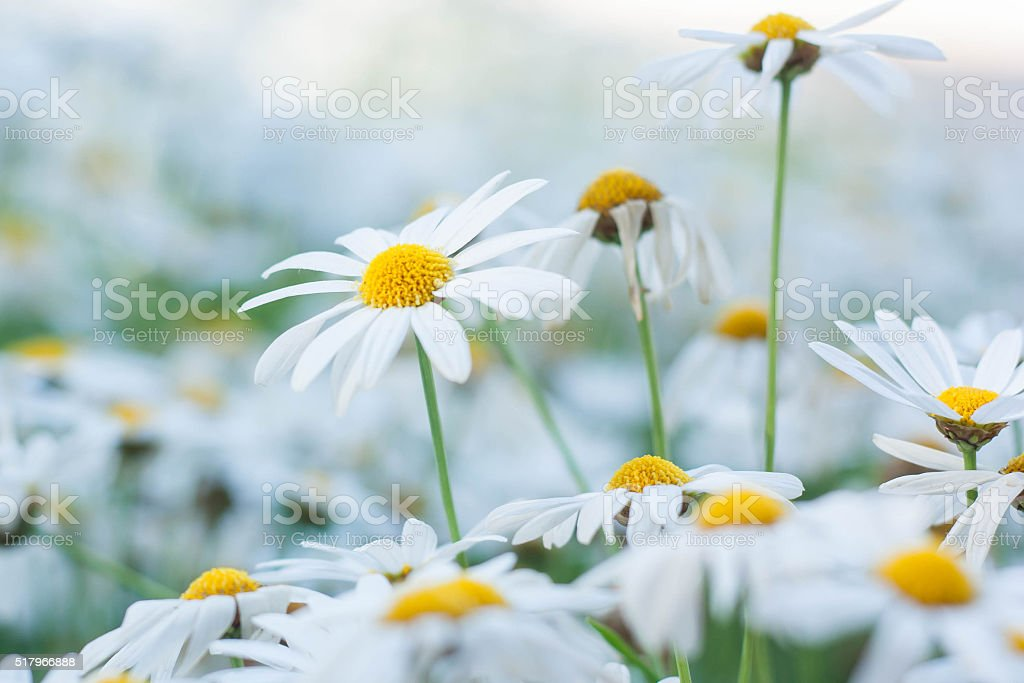 Daisy or chamomiles grass in the nature background. stock photo