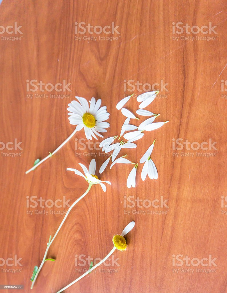daisy petals tells you if 'he loves you' stock photo