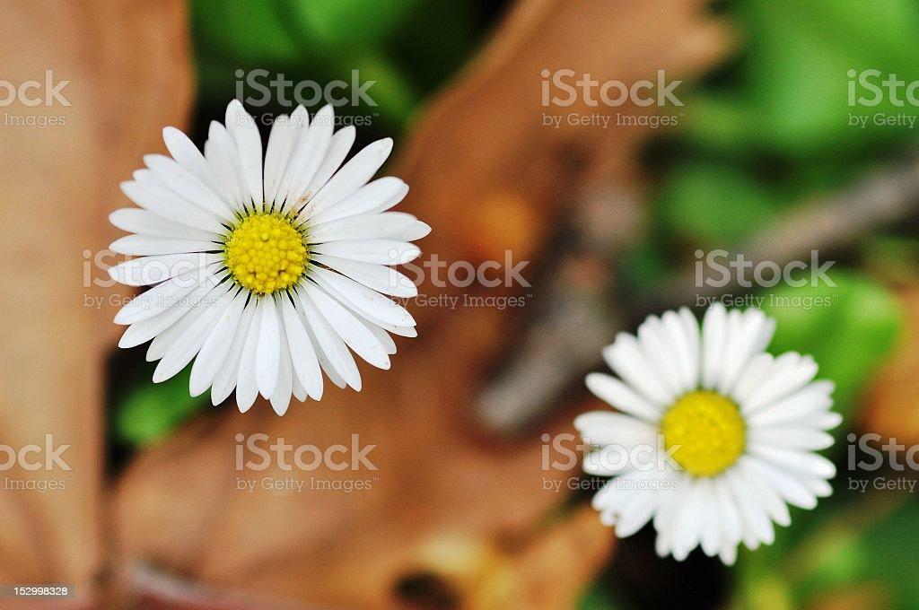 Daisy foto de stock libre de derechos