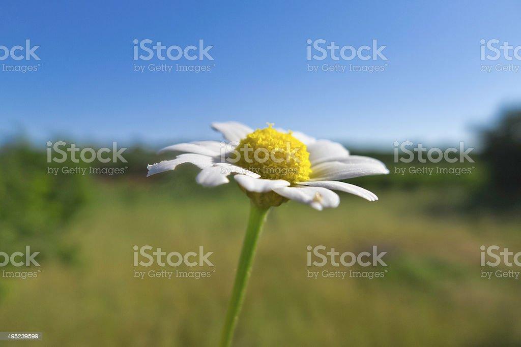 Daisy. stock photo