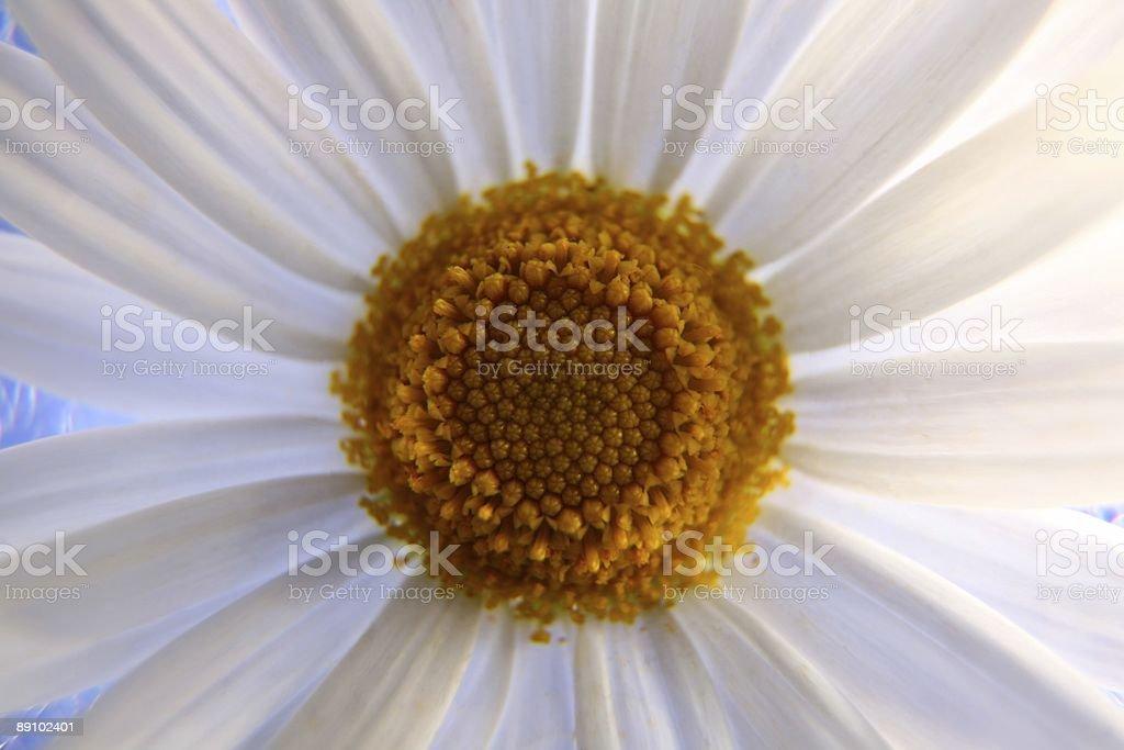 daisy - Lizenzfreies stock-foto
