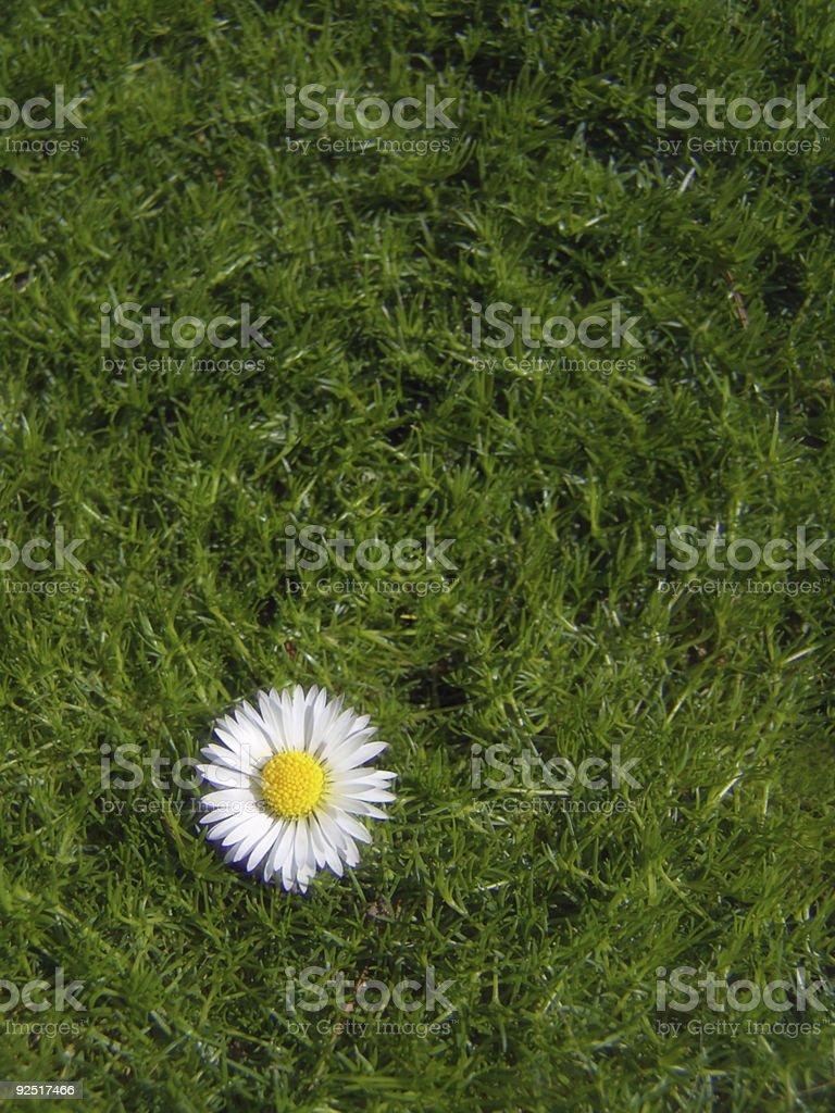 Daisy. royalty-free stock photo