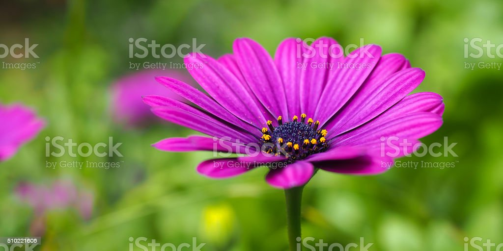Daisy Pink Purple 2 stock photo