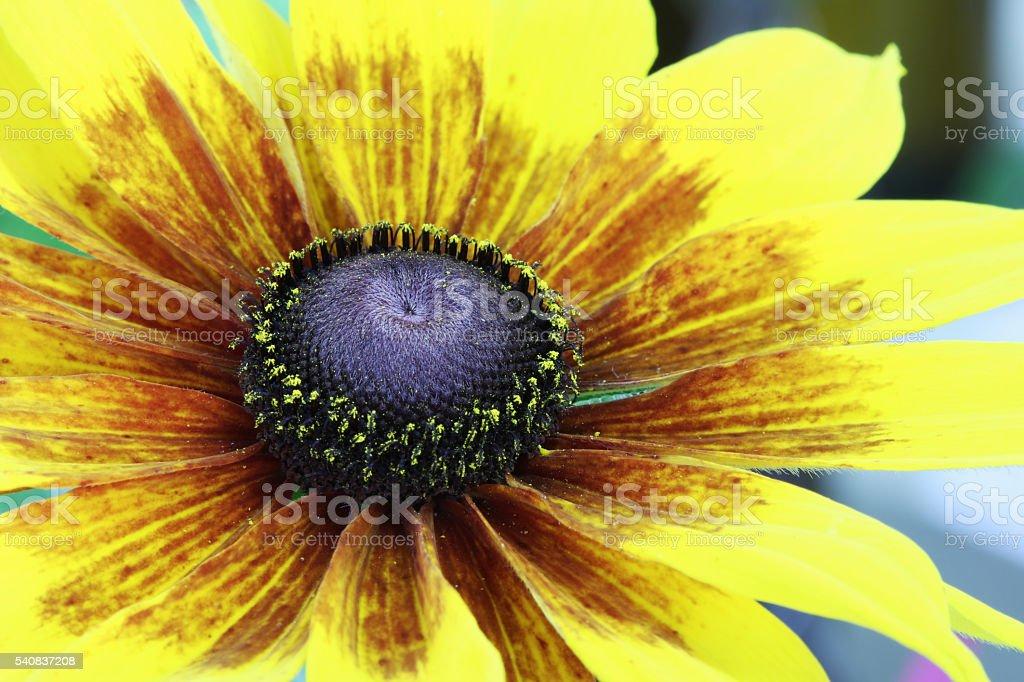 Daisy. Rudbeckia. Flower. stock photo
