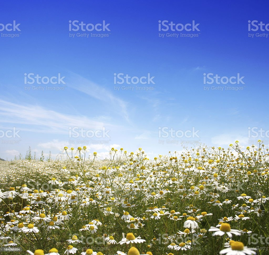 Daisy sky royalty-free stock photo