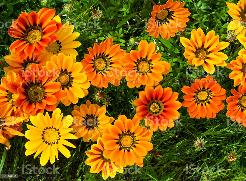 daisy, spring time flowers stock photo