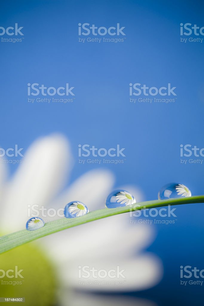 Daisy waterdrop macro royalty-free stock photo