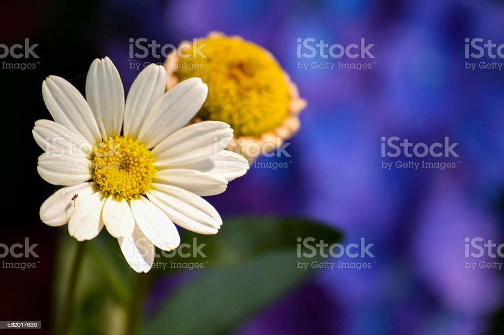 Daisy with blue background stock photo