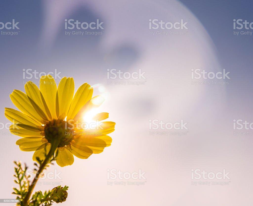Daisy with lens flare stock photo
