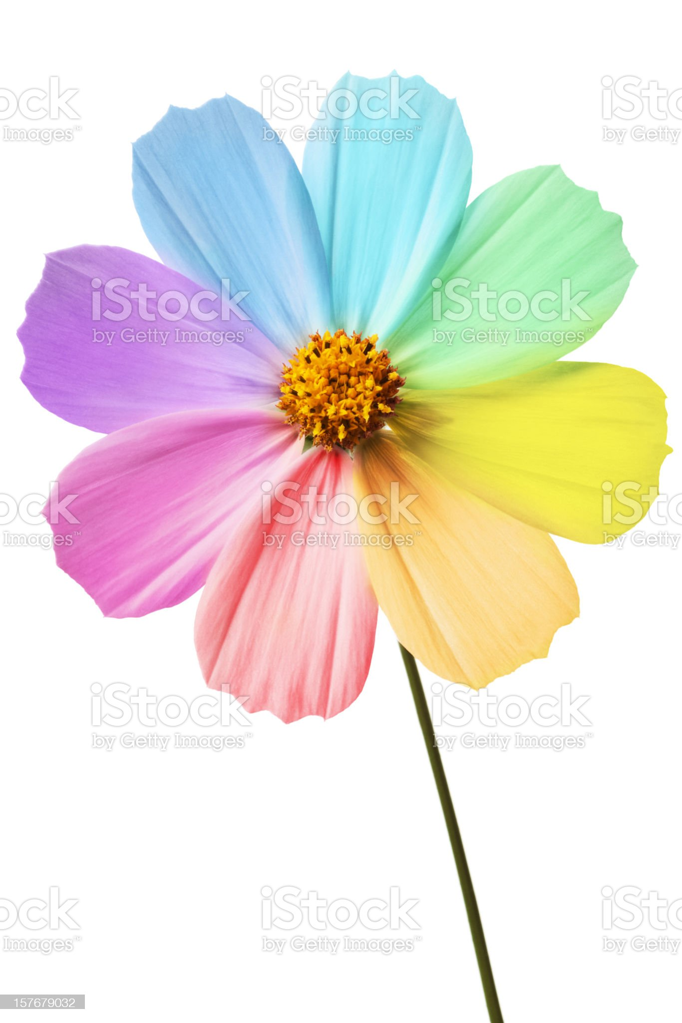 Daisy with rainbow petals on a white background  royalty-free stock photo