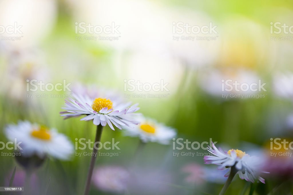 daisy with soft focus on a green spring meadow royalty-free stock photo