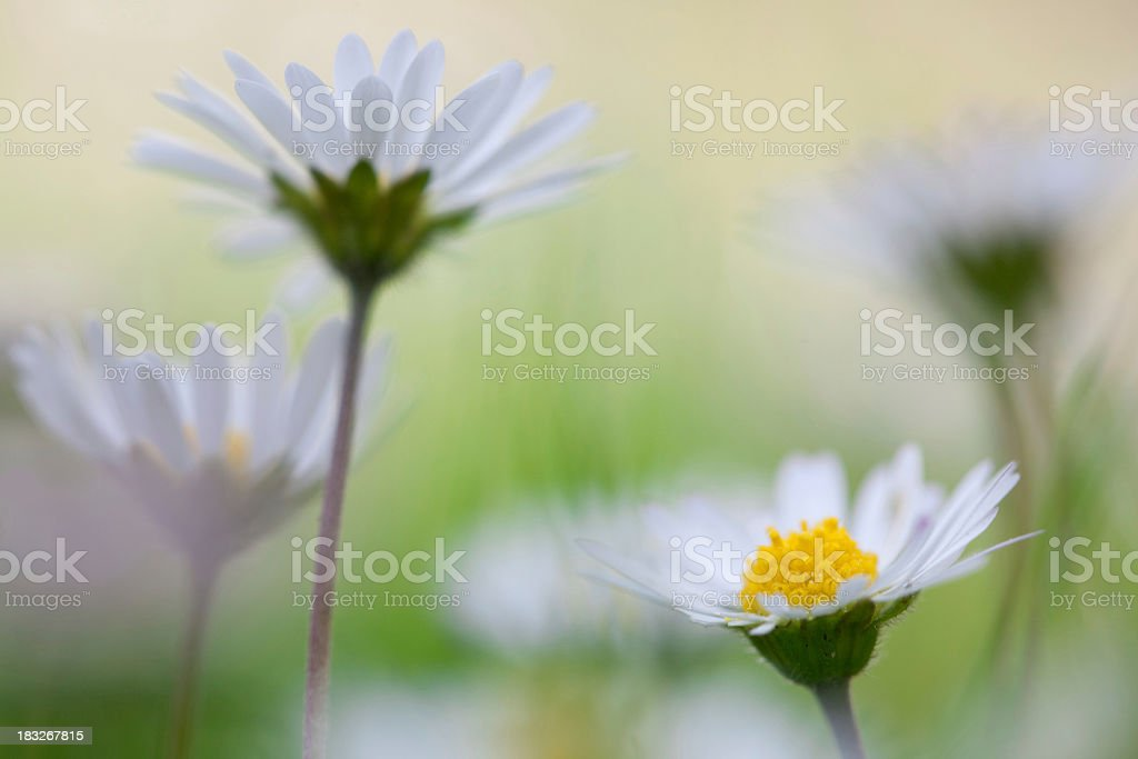 daisy with soft focus royalty-free stock photo