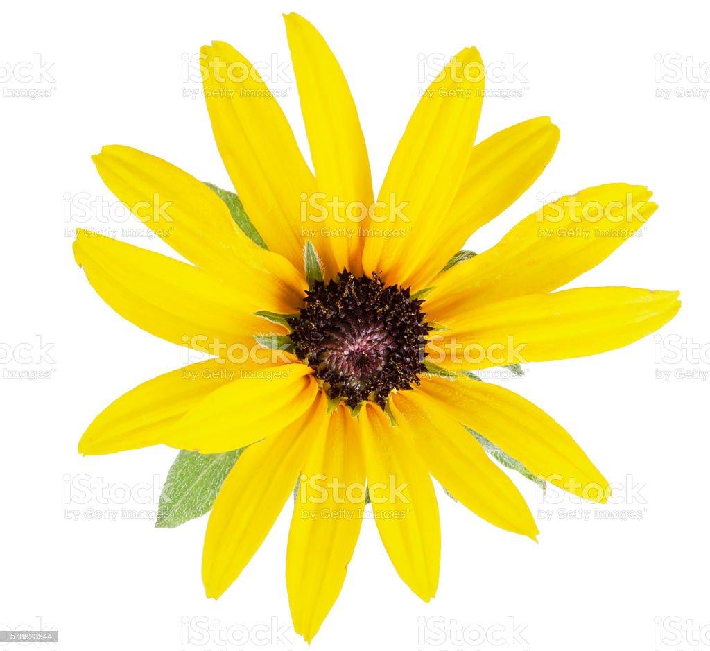 Daisy yellow flower stock photo