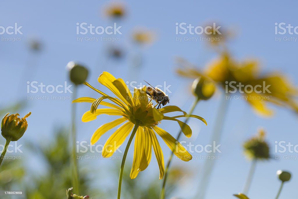 Daisys and bee royalty-free stock photo