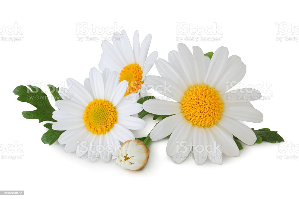 Daisys isolated - inclusive clipping path stock photo