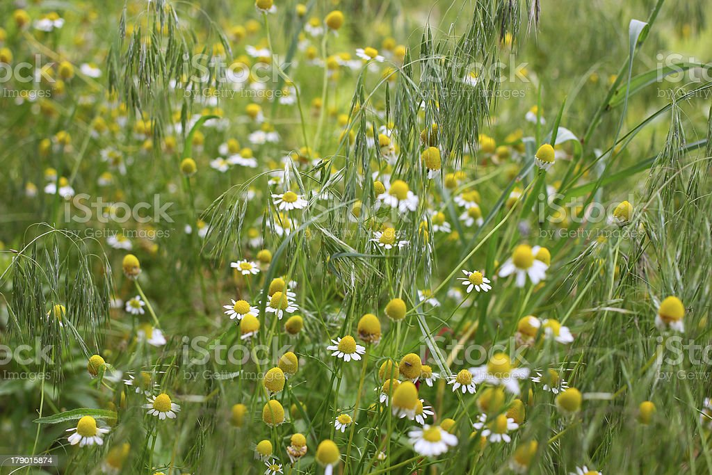daisywheel on the field royalty-free stock photo