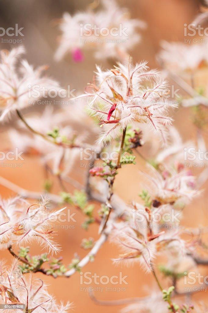 Dalea Parosela formosa Featherplume Acanthus Bush stock photo