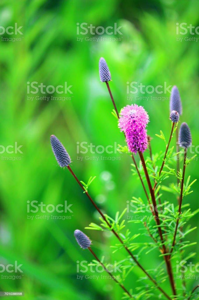 Dalea purpurea stock photo