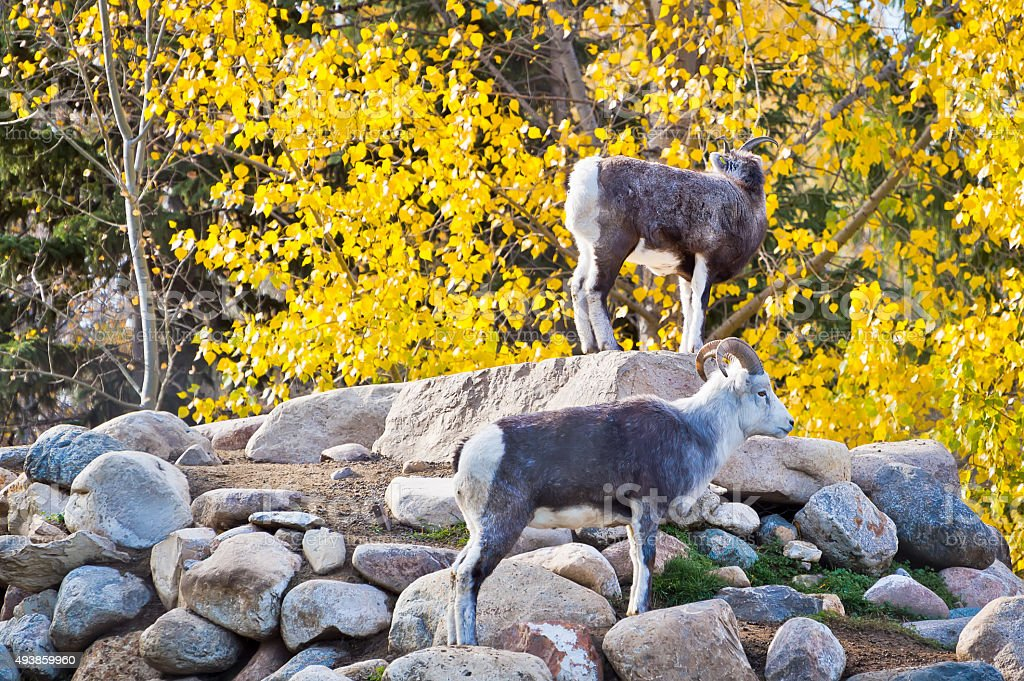 Dall Sheep Gathered on Rocky Outcrop stock photo