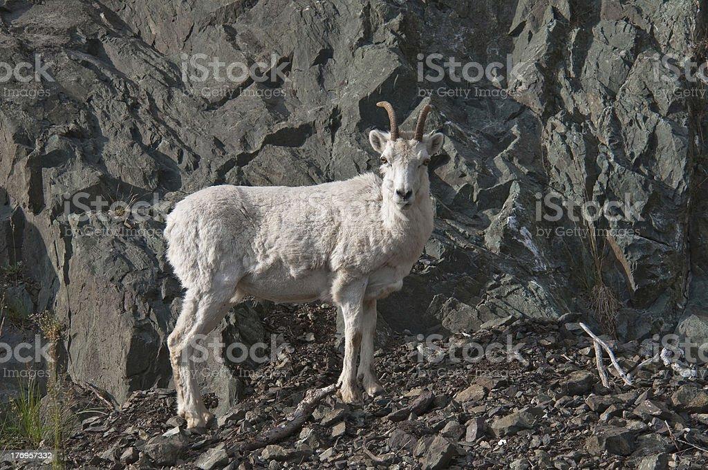 Dall Sheep Lamb stock photo