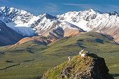 Dall Sheep Looking at Snow Capped Mountains in Denali Alaska