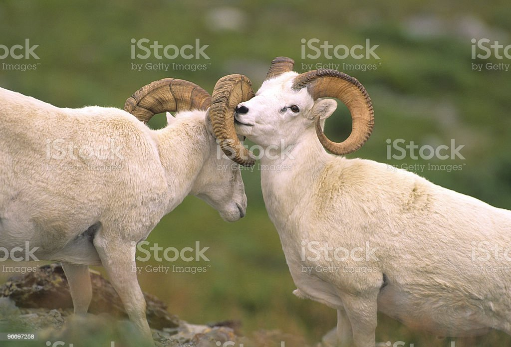 Dall Sheep Rams Sparring royalty-free stock photo