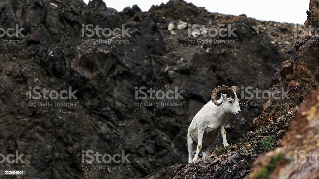 Dall sheep walking on steep mountain slope stock photo