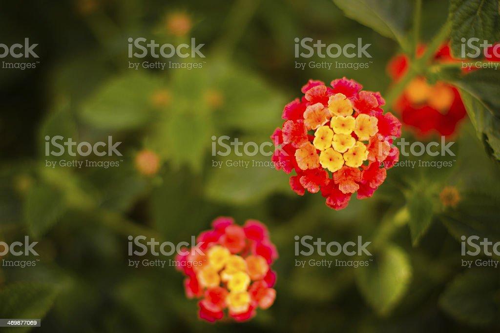 Dallas Red Lantana Flowers royalty-free stock photo