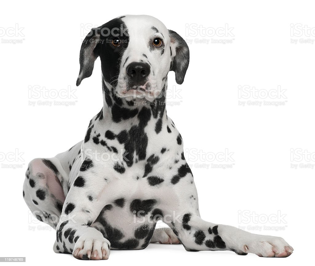 Dalmatian, 2 years old, lying down, white background. stock photo