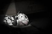 Dalmatian asleep
