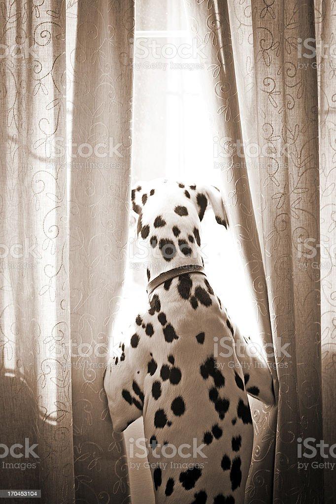 Dalmatian at window royalty-free stock photo