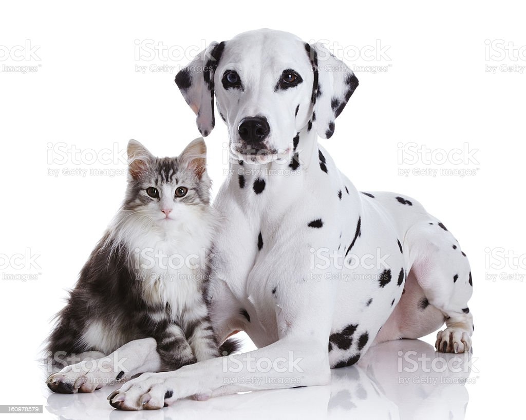 Dalmatian dog and Norwegian forest cat stock photo