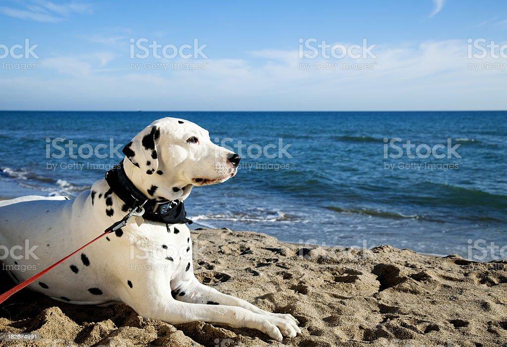 Dalmatian dog at a beach stock photo