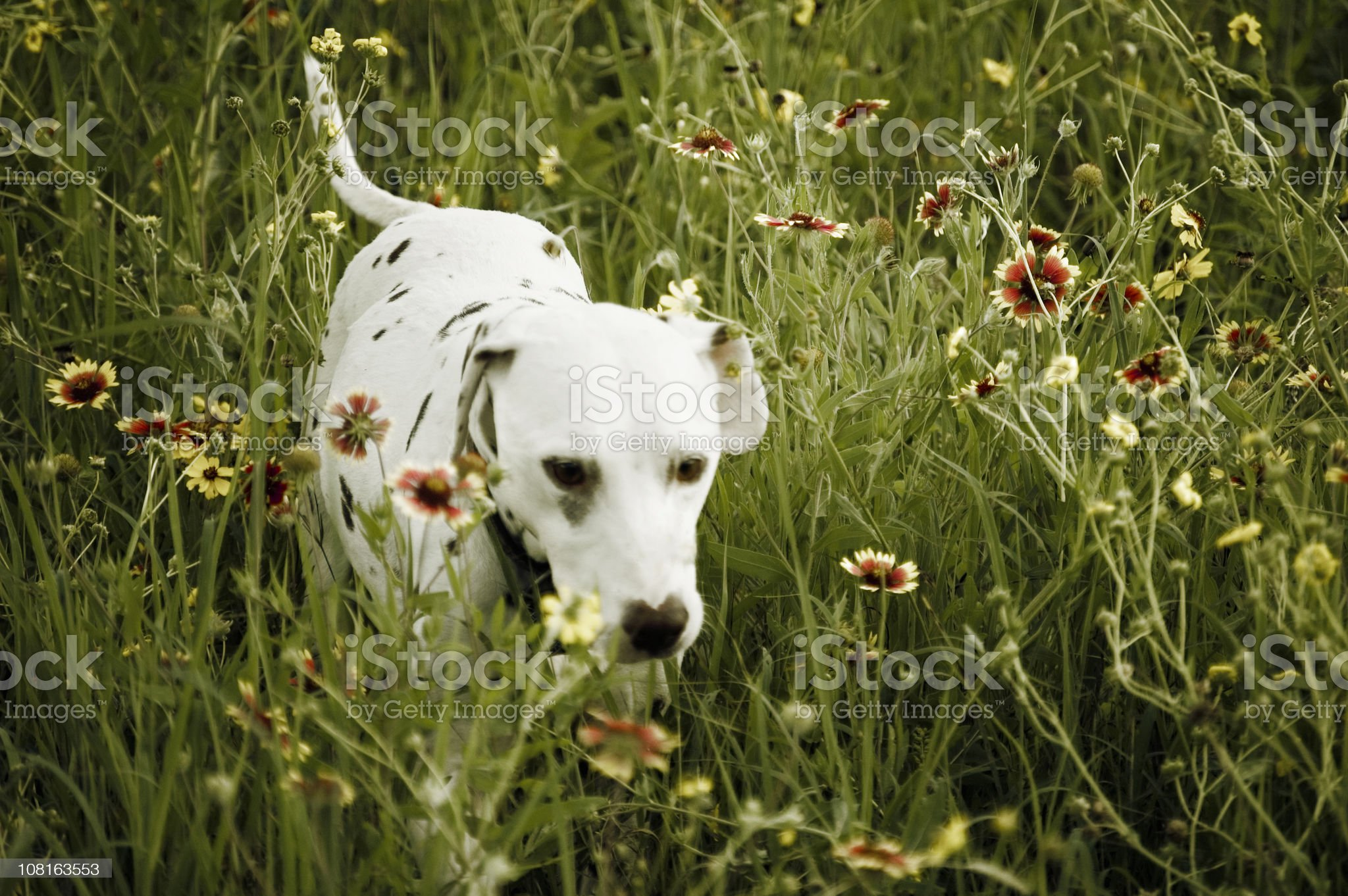 Dalmatian Dog in Tall Grass with Wildflowers royalty-free stock photo