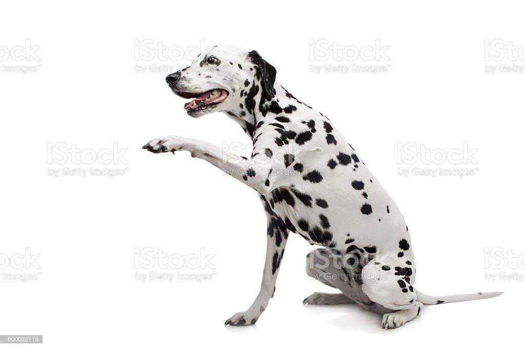 Dalmatian dog, isolated on white stock photo