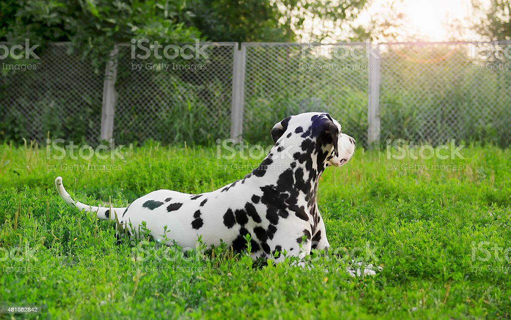 Dalmatian dog lying on green grass stock photo