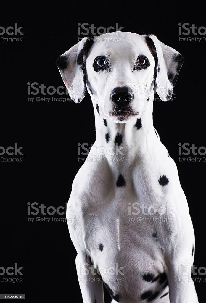 Dalmatian dog royalty-free stock photo