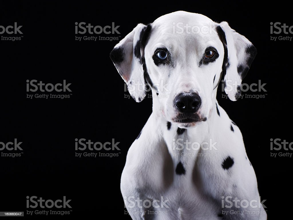 Dalmatian dog royalty-free stock photo