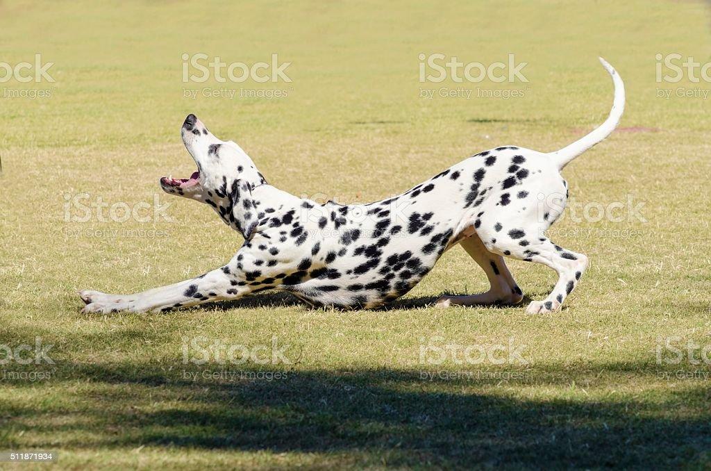 Dalmatian dog stock photo