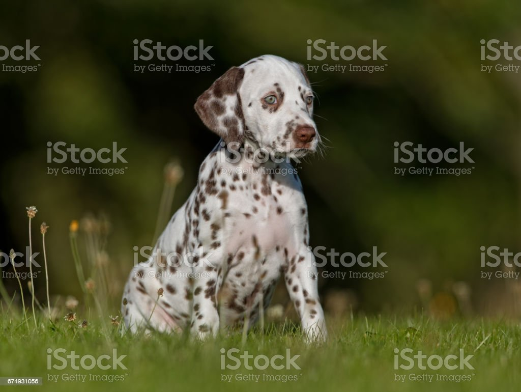 Dalmatian dog puppy stock photo