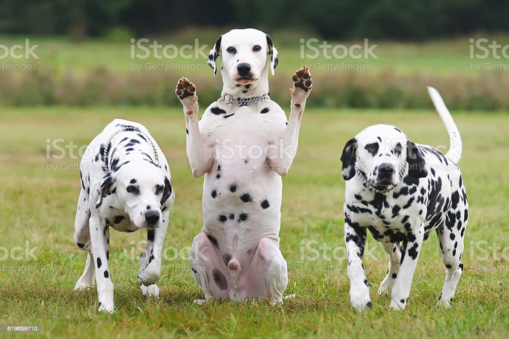 Dalmatian dog sitting between other Dalmatians and showing its paws stock photo