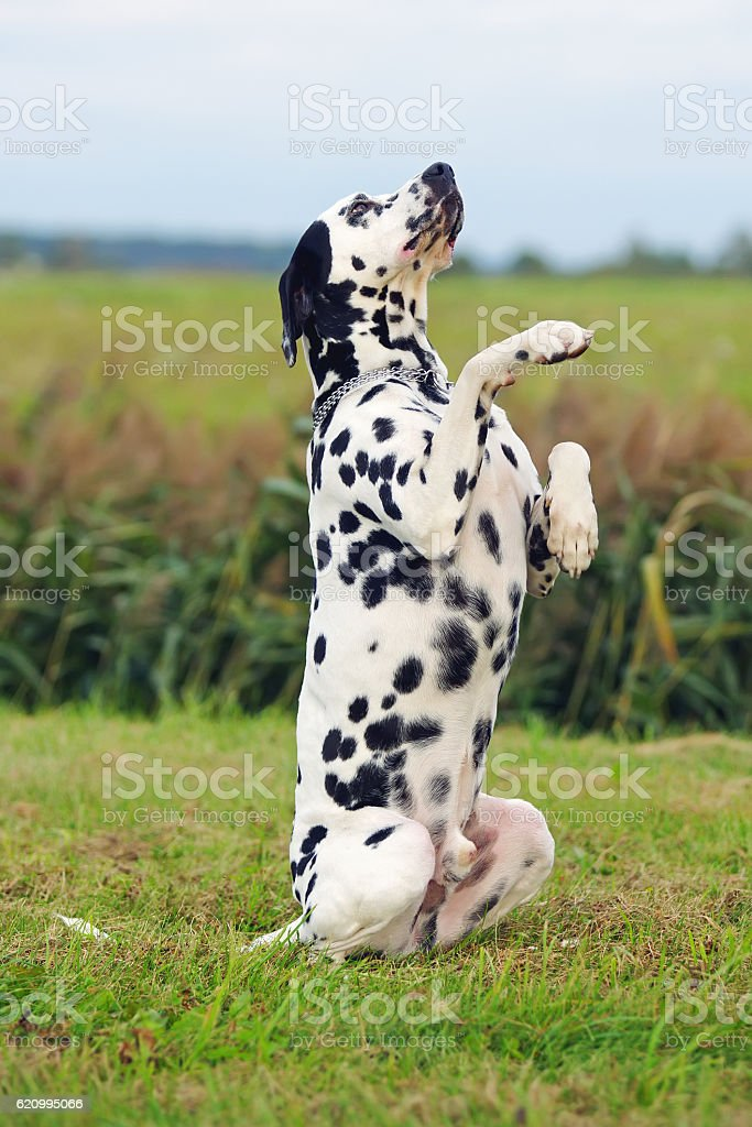 Dalmatian dog sitting up on its hind legs outdoors stock photo
