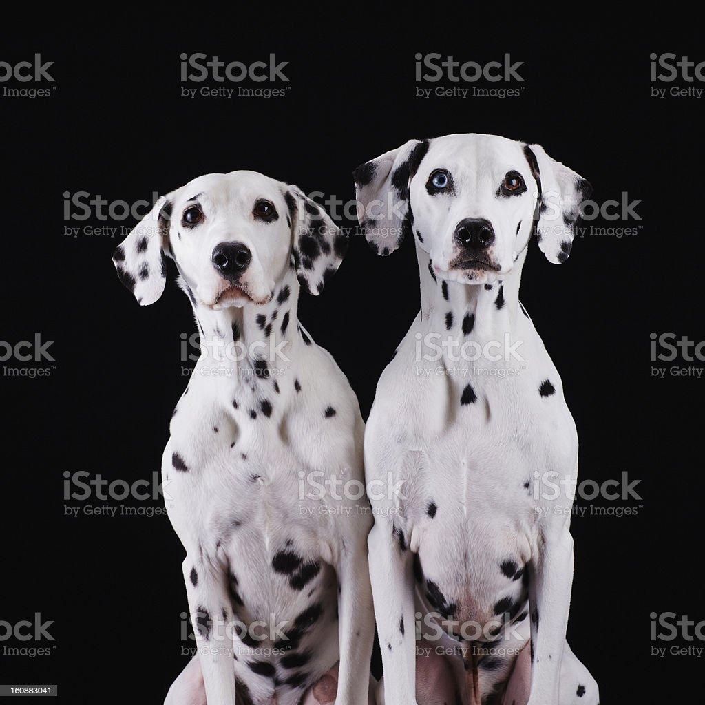 Dalmatian dogs stock photo